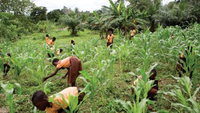 Photo of Planting for Food and Jobs Program saddled with huge challenges in Ho Municipality