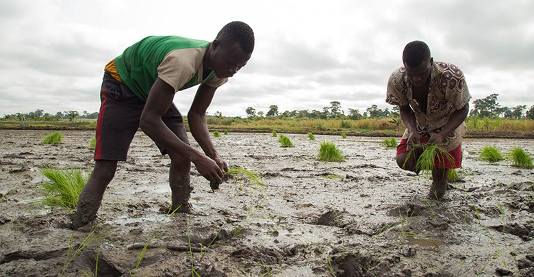 Planting for Food & Jobs: Neglected Rice farmers in Volta Region appeal to gov't for support