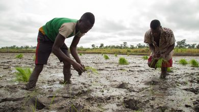 Photo of Planting for Food & Jobs: Neglected Rice farmers in Volta Region appeal for gov't support